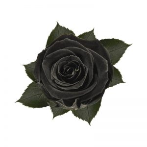 rose-stabilizzate-black-beauty