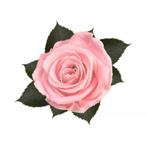 rose-stabilizzate-bridal-pink