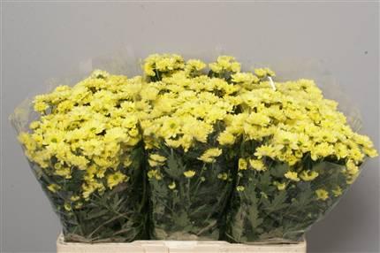 Santini gialli