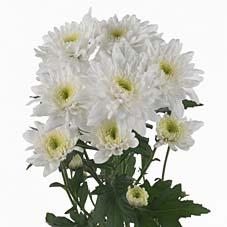 crisantemina bianca