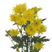 crisantemina  gialla