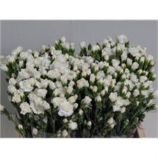 Garofanini bianchi 50cm