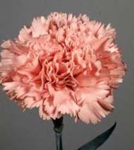 Garofani rosa 60cm fiori recisi