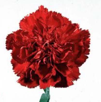 Garofani Rossi  60cm fiori recisi