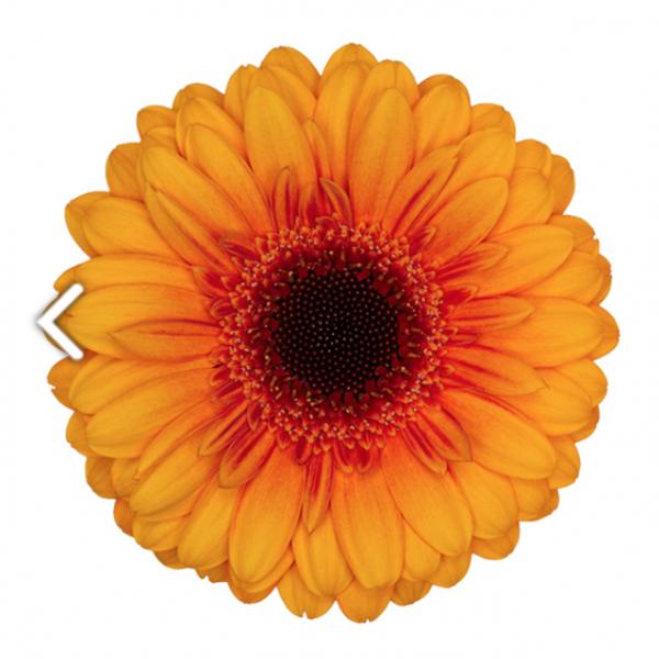 Gerbere fiori freschi a casa tua for Fiori gerbere
