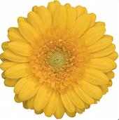 Gerbere gialla