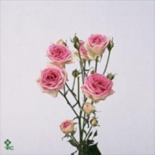 Rosellina spray rosa