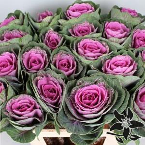 cavoli rosa