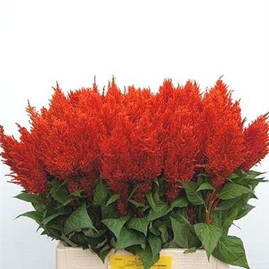 celosia-plumosa-red