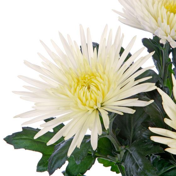 crisantema a stella bianco