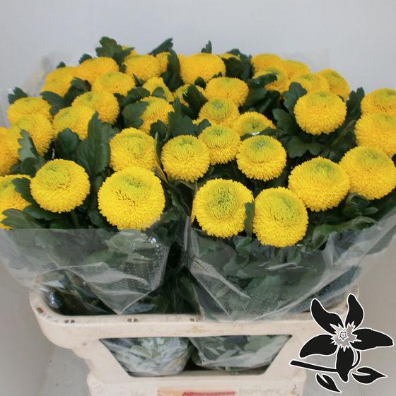 crisantemi giallo ping pong