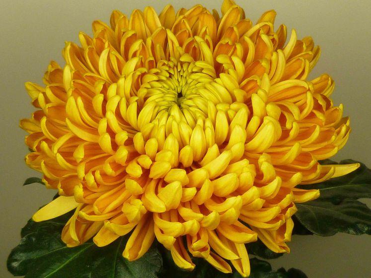 crisantemo grande giallo
