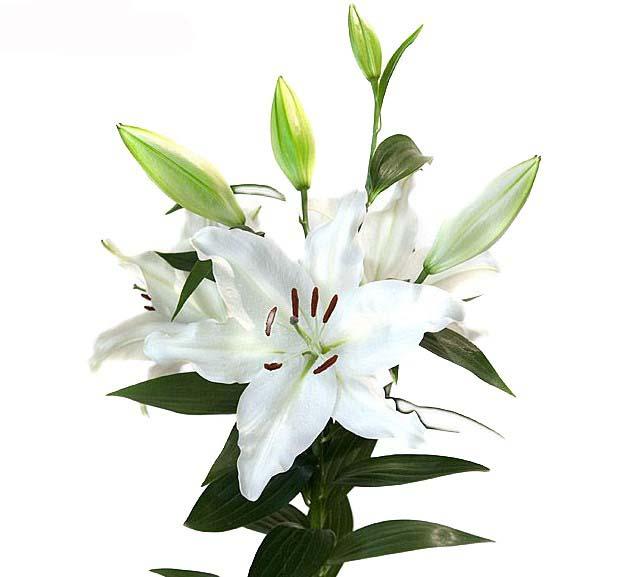 lilium asiatico bianco