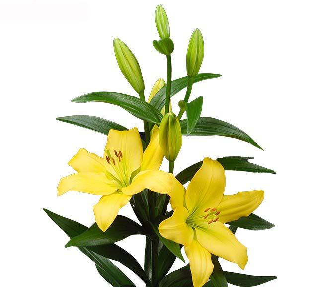 lilium giallo