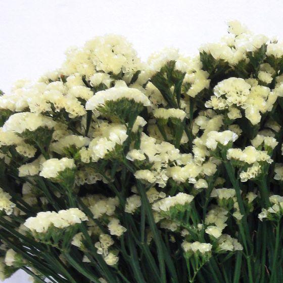 Statice – Semprevivo fiore giallo 60cm