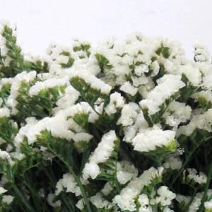 Statice – Semprevivo fiore bianco  60cm