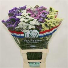 Statice – Semprevivo fiore mix color 60cm