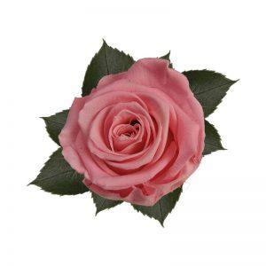 rose-baby-pink