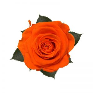 rose-stabilizzate-orange-flame