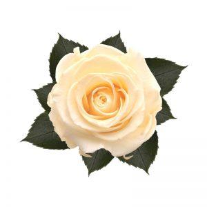 rose-stabilizzate-pearl-white