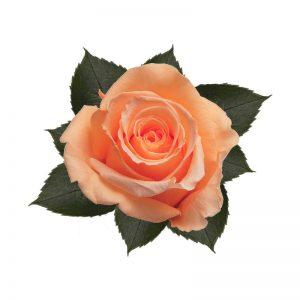 rose-stabilizzate-perfect-peach