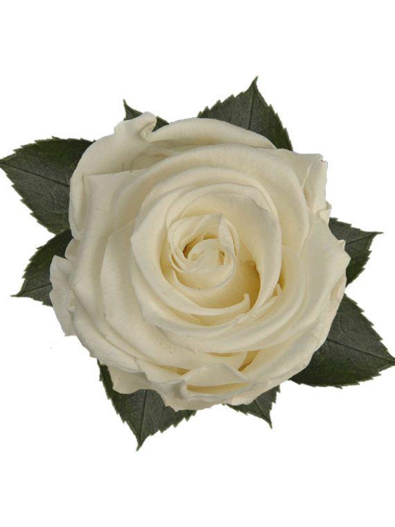 rose-stabilizzate-pure-white