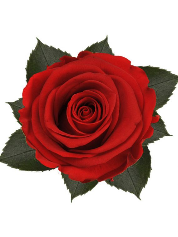 rose-stabilizzate-vibrant-red