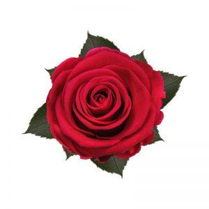 rose-stabilizzate-hot-pink