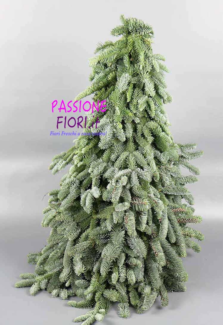 albero abete nobilis 50 cm