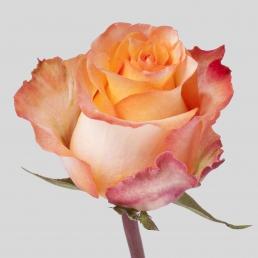 rose twilight