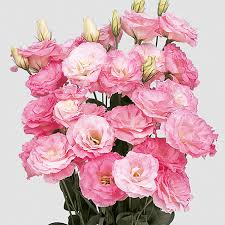 Lisianthus rosa 60cm