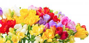 fresia multicolor recisa