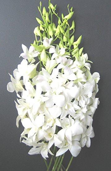 dendrobium bianca